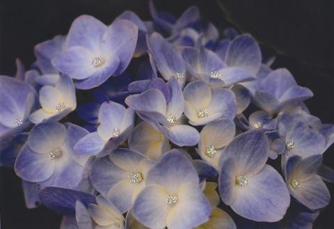 Glitter Photo Card - Hydrangea Sitting