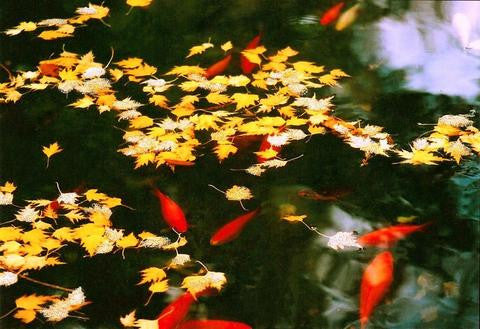 Glitter Photo Card - Goldfish Pond with Leaves