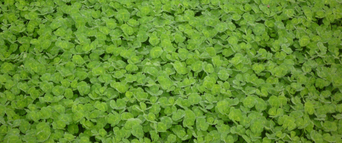 Rosabrook Sub Clover Coated Seeds