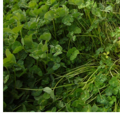 Woogenellup Sub Clover Seeds