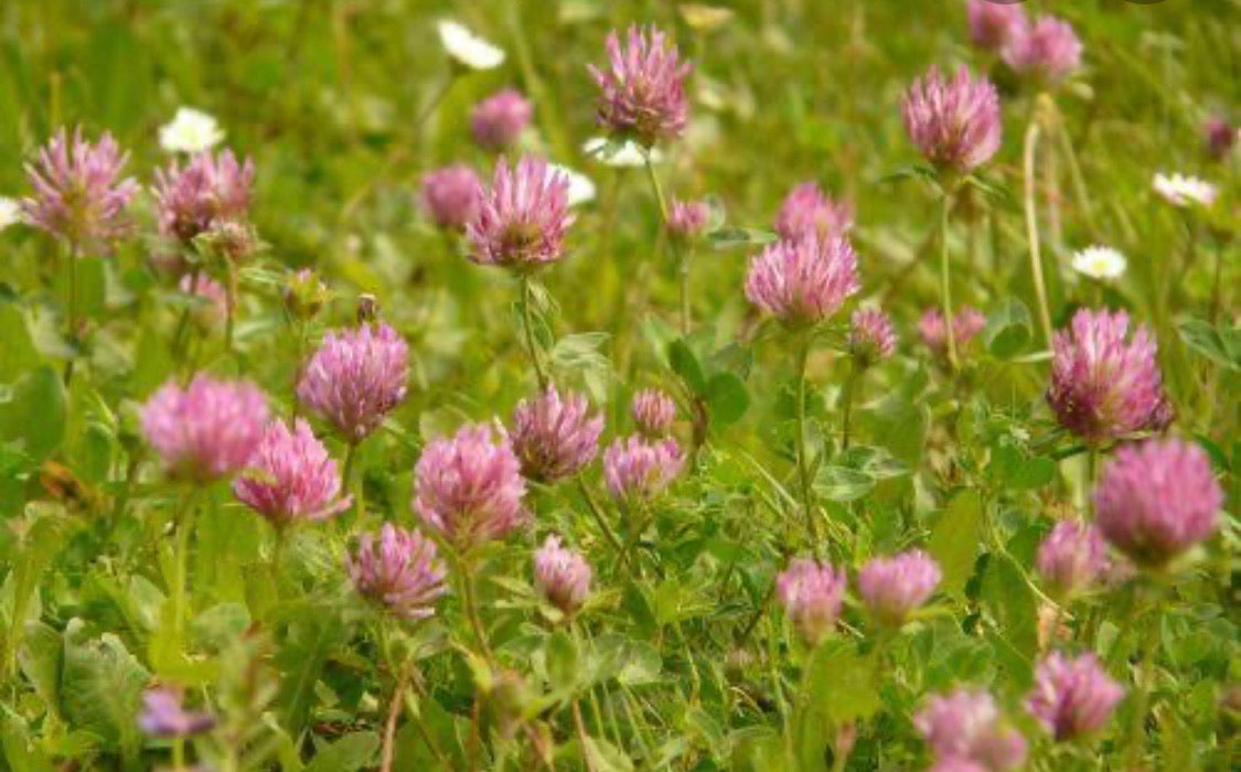 Red Clover Seeds