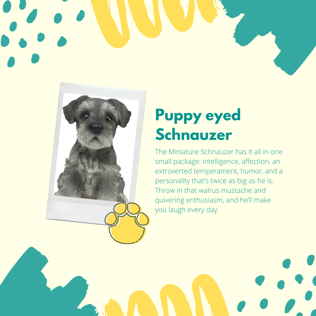 The Miniature Schnauzer has it all in one small package: intelligence, affection, an extroverted temperament, humor, and a personality that's twice as big as he is. Throw in that walrus mustache and quivering enthusiasm, and he'll make you laugh every day.