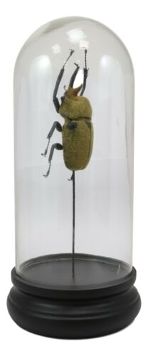 Entomology Elephant Beetle Faux Taxidermy Sculpture in Glass Dome Cloche Display
