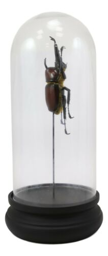 Entomology Rhino Beetle Faux Taxidermy Sculpture in Victorian Glass Dome Cloche