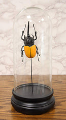 Ebros Exotic Entomology Beetle Faux Taxidermy Sculpture in Victorian Glass Dome Cloche Display Educational 3D Model Or As Mantelpiece Shelf Table Decoration Museum Gallery Figurine (Moellenkampi)