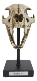 Faux Taxidermy Replica Bobcat Fossil Skull Statue On Museum Display Pole Mount