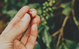 Image of a green coffee bean taken during an Alfresco Coffee Trip