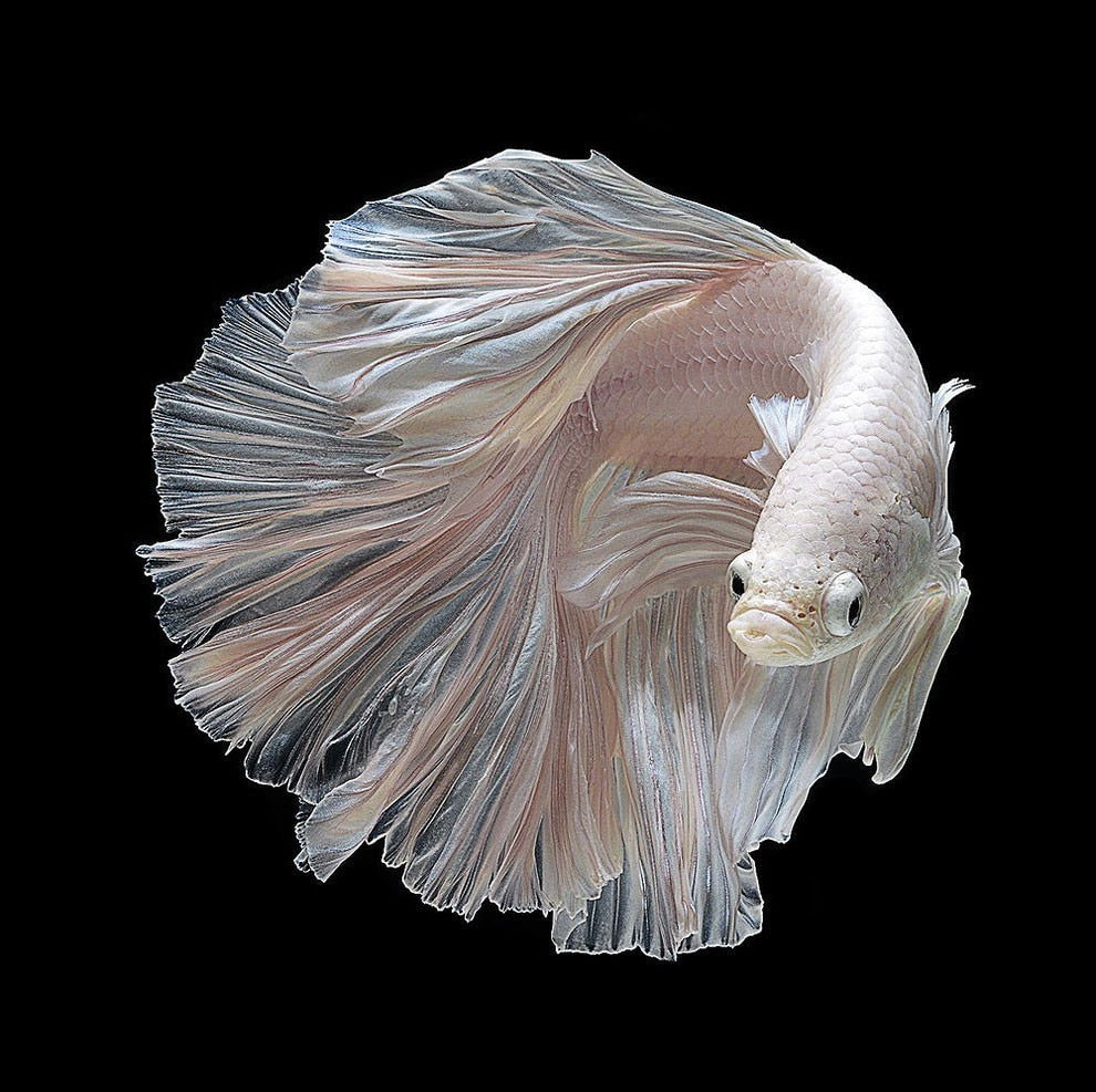 DIY Diamond Painting Pale Cream Betta Fish - craft kit