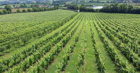Aldwick Estate Vineyard in Somerset