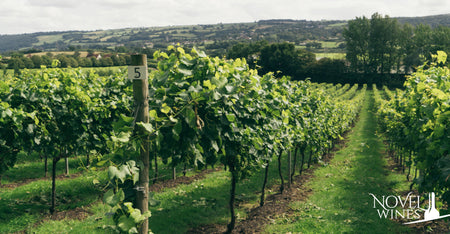 Vineyard at Aldwick Estate, one of our favourite British summer wine producers