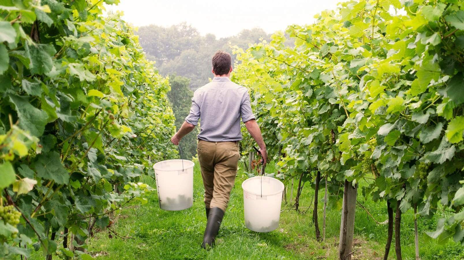 Early Look: English Wine 2016 Harvest Report
