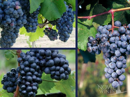 Turan and Kadarka grape varieties for winemaking from Eger in Hungary - Novel Wines