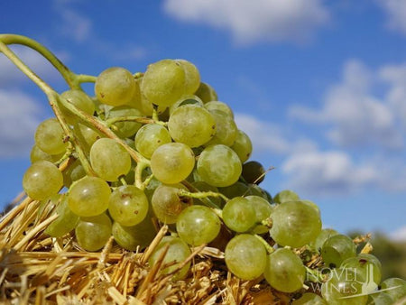 Xynisteri Grape Variety white wine from Cyprus