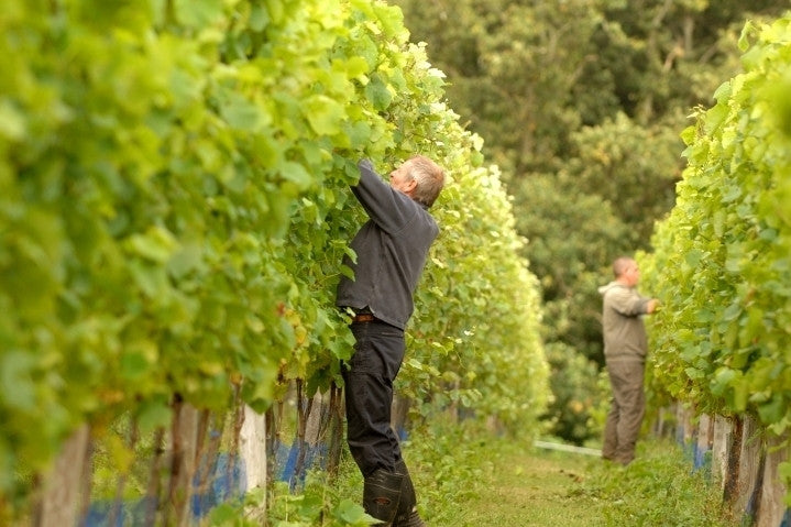 Work in the vineyard at Furleigh Estate
