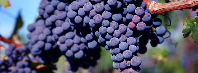 Kekfrankos grape variety from central Europe for winemaking