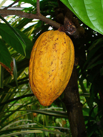 Raw Cacao that create Alovitox Cacao Nibs come from pods of 'The Theobroma Tree.'