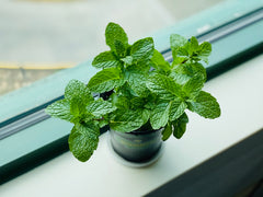 Garden Mint on Window Sill