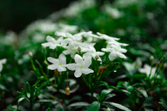Small white flowers and green foliage