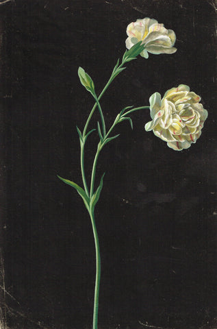 Dianthus Caryophyllus 19th Century Flower old master drawing Watercolour and gouache on paper