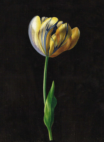 Tulipe Watercolour Drawing