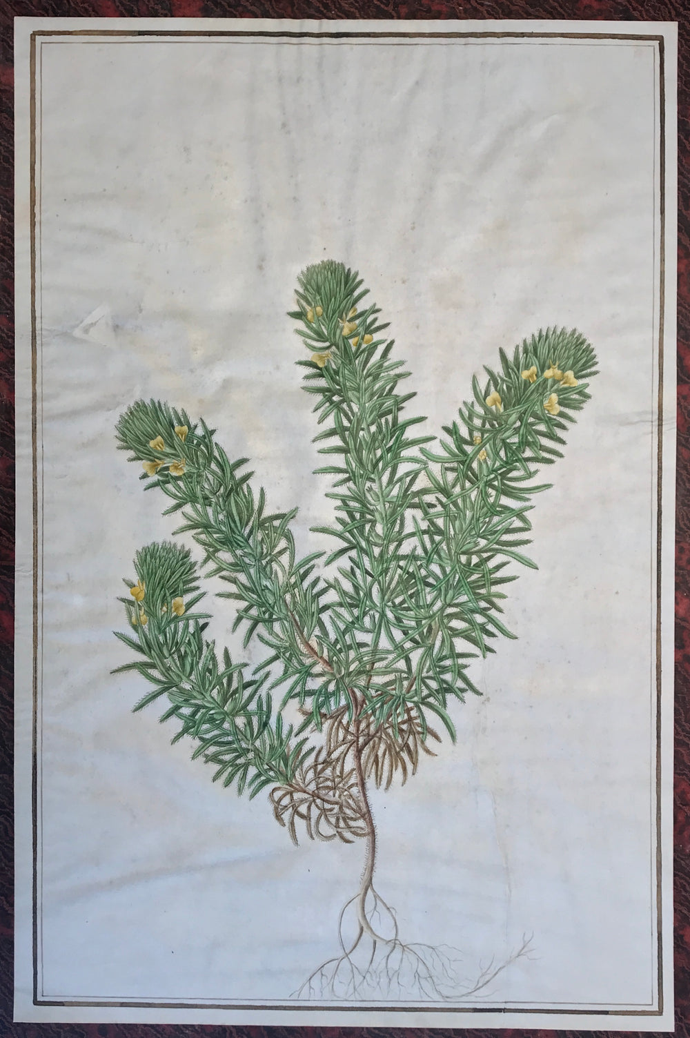 BALDASSARE CATTRANI French-Italian 1776-1810   with identifying manuscript captions beneath :  Ajuga chamaepitys (Ground pine)  original water- and bodycolour botanical drawings on vellum, [circa 1800].   (sheet size: 535 x 375mm. approx.), all with integral borders double ruled in black ink