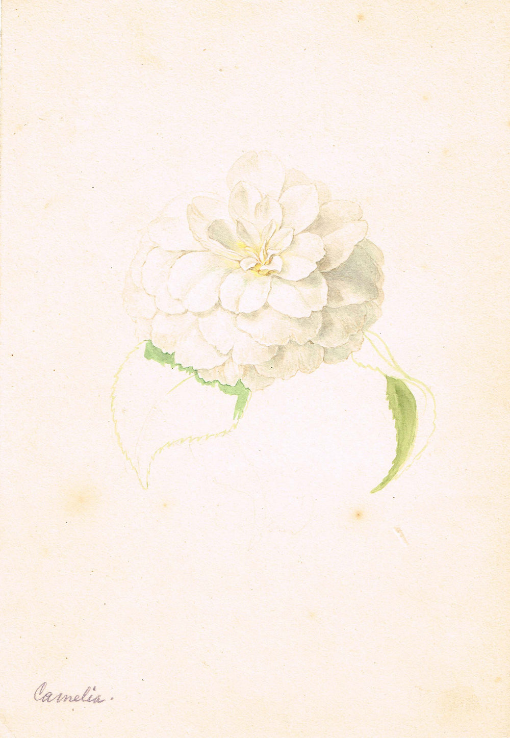 Camellia Old Master Drawing - appleboutique-com