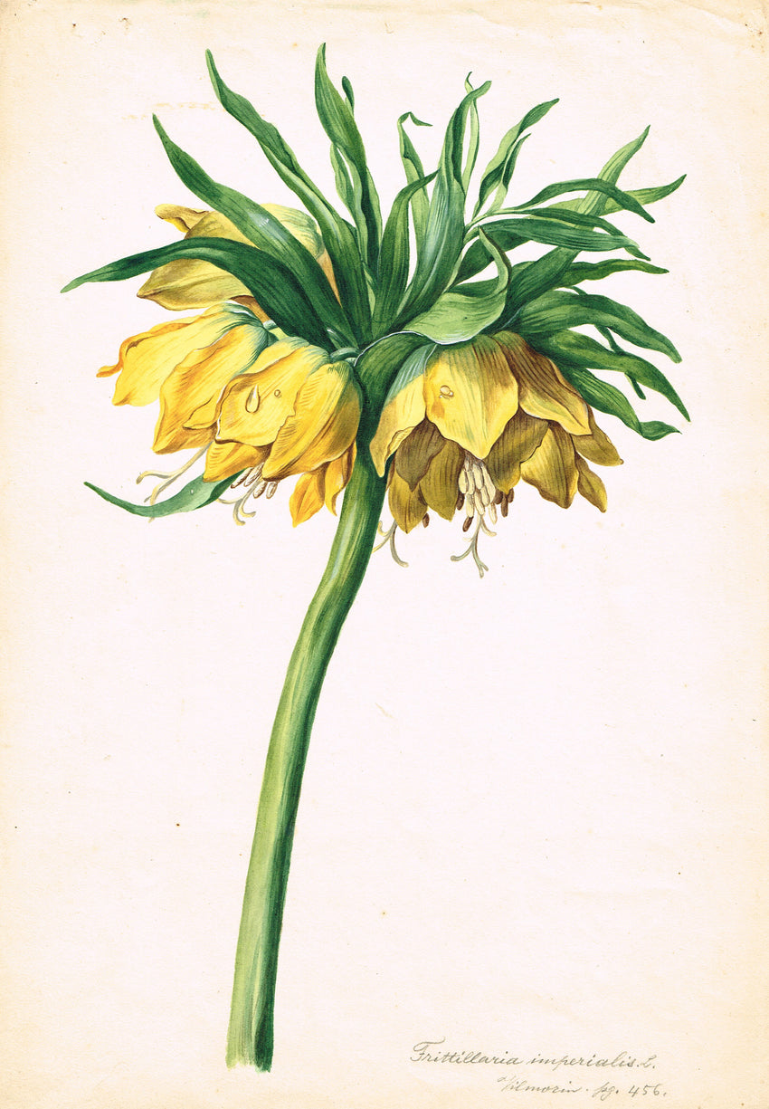 FINE AND RARE ORIGINAL BOTANICAL WATERCOLOR AND GOUACHE