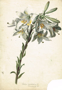 Fine Old Master Drawing of a Lilium Candidum