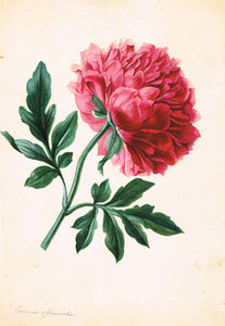 Peony Paeonia Officinalis - appleboutique-com