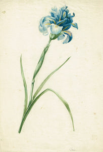 Old master drawing flower Iris