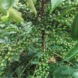 Finca Escenica - Green Coffee