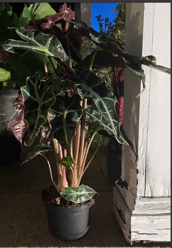 Polly Alocasia plant long island