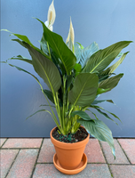 Peace Lily New York Delivery