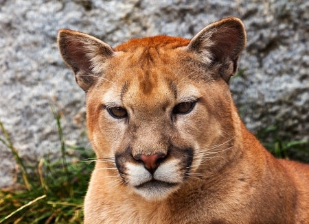 Cougars For Kids-Amazing Animal Books For Young Readers