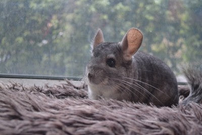 Chinchillas For Kids