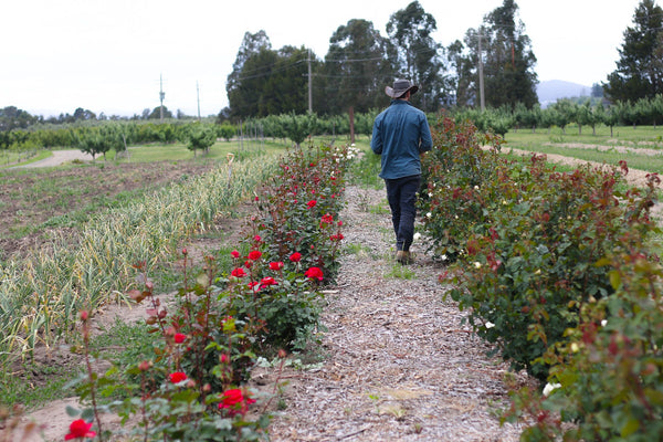 Caring for Roses  | 22 Jul