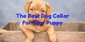puppy dog collars