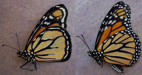 aberrant monarch butterfly