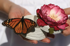 Western Monarch Butterflies - By The Dozen