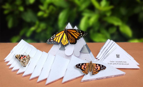 Package Deal - 25 Painted Ladies and 2 Monarchs in Designer Boxes