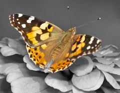 Painted Lady Butterflies - Additional Single Butterfly