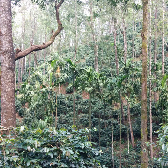 Coffee estates in Chikmagalur