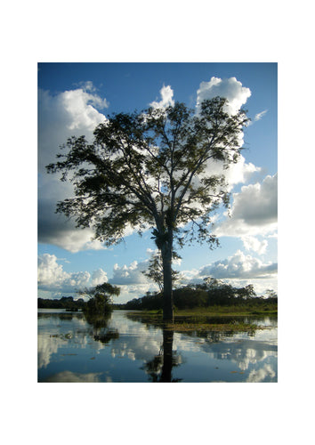 'Amazonian Tree' Open Edition Giclée Print by Stephen Pick