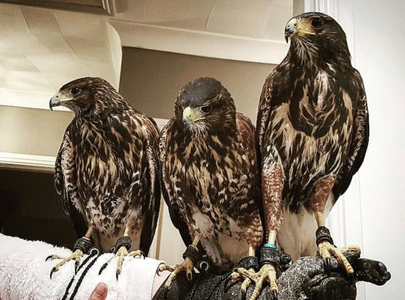 Harris Hawk Team