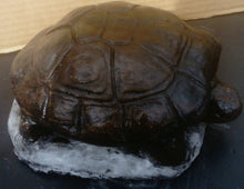 Tortoise, Dark Coloured
