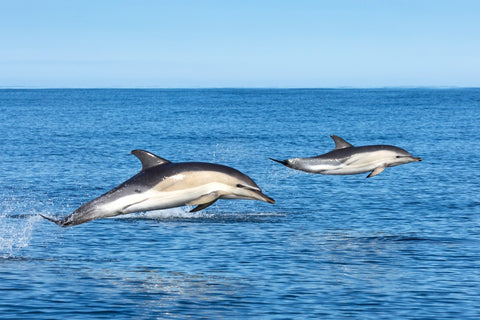 Common Dolphins - Print & Canvas - STDAVIDS.WALES
