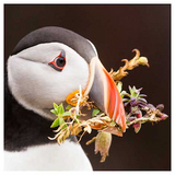 STDAVIDS.WALES:Puffin - Print & Canvas:Pembrokeshire Moments:Canvas