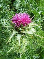 [HERB] Milk thistle | Silybum marianum