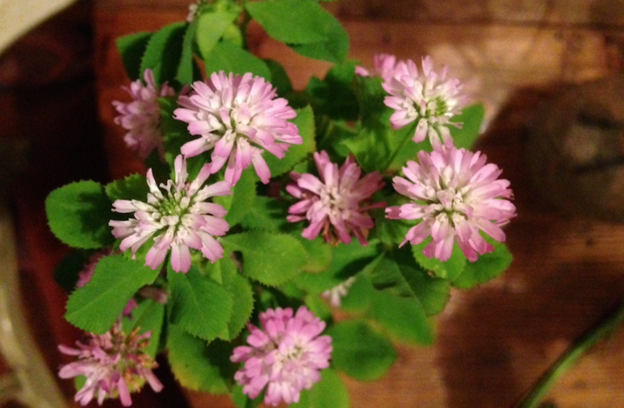 "The Benefits of ""Mihi"" Persian Clover"