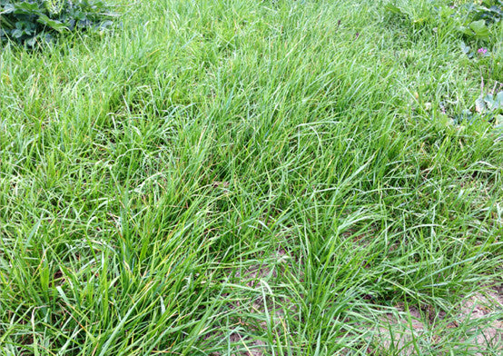 Thunder Ryegrass